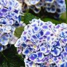 Mars Hydrangea Seeds Perennial Flower 5 pcs/bag