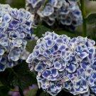 Blue White Hydrangea Seeds Perennial Flower 5 pcs/bag