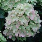 Green Pink Hydrangea Seeds Perennial Flower 5 pcs/bag