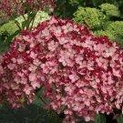 Dark Pink Bloom Hydrangea Seeds Perennial Flower 5 pcs/bag