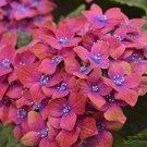 Pink Blue Hydrangea Seeds Perennial Flower 5 pcs/bag