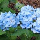 Fresh Blue Hydrangea Seeds Perennial Flower 5 pcs/bag
