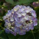 Light Purple Hydrangea Seeds Perennial Flower 5 pcs/bag