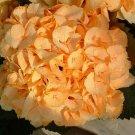 Yellow  Hydrangea Seeds Perennial Flower 5 pcs/bag