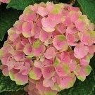 Pink Green Hydrangea Seeds Perennial Flower 5 pcs/bag