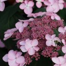 Pink Hardy Hydrangea Seeds Perennial Flower 5 pcs/bag