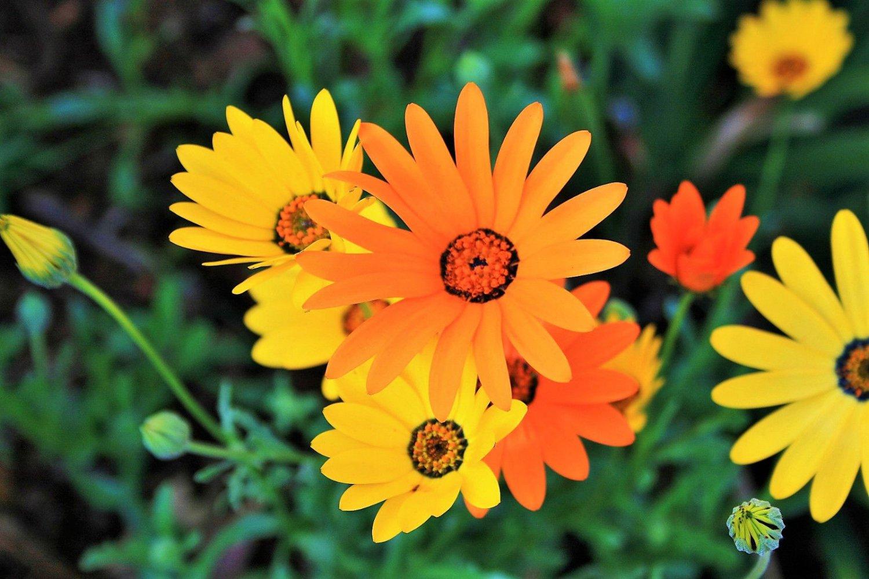 1000 Seeds MIXED AFRICAN DAISY DAISIES Dimorphotheca Marigold Flower