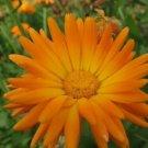 Most Favorite RADIO MARIGOLD English Calendula 50 seeds