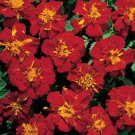 French Durango Red Marigold 50 Seeds