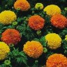 Marigold Seeds Cracker Jack Mix African Marigold 500 Seeds