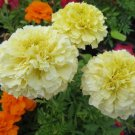 Vanilla White Marigold 50 seeds