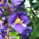 Hawaiian Blue (polu) Ginger Plant Roots 1 pcs per pack