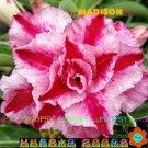 Madison Adenium Hybrid Bonsai 5 Seeds per pack 2NS18