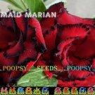 Maid Marian Adenium Hybrid Bonsai 5 Seeds per pack 2NS18