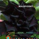 Black Maleficent Adenium Hybrid Bonsai 5 Seeds per pack 2NS18