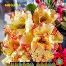 Megara Adenium Hybrid Bonsai 5 Seeds per pack 2NS18