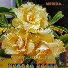Merida Adenium Hybrid Bonsai 5 Seeds per pack 2NS18