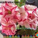 Merry Weather Adenium Hybrid Bonsai 5 Seeds per pack 2NS18
