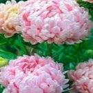 Peony Aster Duchess Apricot Rose Flower 50 Seeds