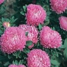 Fresh Aster Callistephus Dwarf Rose Flower 100 Seeds