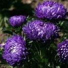 Fresh Aster Flower Callistephus Drarf Milandy Blue 100 Seeds