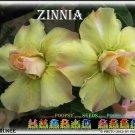 Zinnia Double KH2 Adenium Obesum Desert Rose 5 seeds per pack