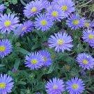 Best Blue WONDER OF STAFFA ASTER Flower 50 seeds