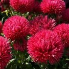 Aster -Gremlin Double - Red Flower 50 seeds