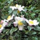 5 TEA PLANT Black & Green Camellia Sinensis Tree