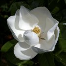 25 Seeds Southern Magnolia Tree Sweet White Blooms