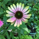 50 Seeds Green Envy Coneflower Flowering Plant