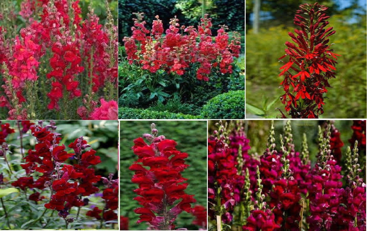 Special Bulk 200 Seeds Ruby Red Snapdragon Annual Flower
