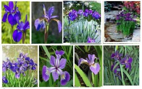 Nice Flower 10 seeds Purple Iris