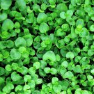 20 CORSICAN MINT Mentha Requienii Herb Fragrant Ground US Only