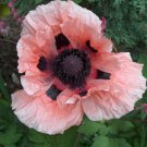 30 seeds Papaver Orientale Princess Victoria Louise Poppy Flower Seeds / Perennial
