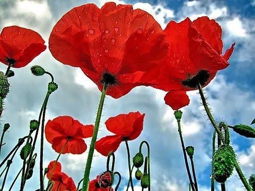 Red Oriental Poppy Papaver Seeds Summer Flower