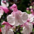 40 Seeds`Fresh Pink Frilss Salvia Flower (herb garden sage)