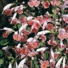 40 Seeds`Fresh Apple Blossom Salvia Flower (herb garden sage)