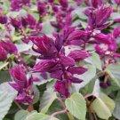 Vista Purple Salvia flower garden decore 50 seeds