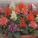 Vista Saluti Salvia flower garden decore 50 seeds