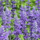 Farinacea Strata Salvia flower garden decore 50 seeds