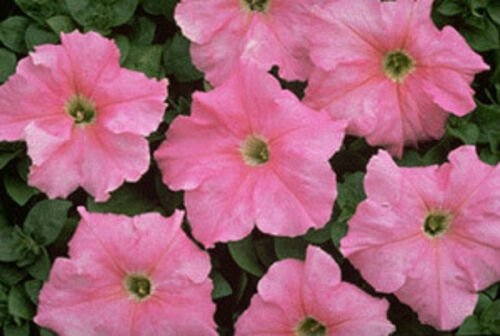 Petunia Supercascade Blush Potted Flower 50 Seeds