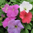 Petunia Stormy Weather Mix Potted Flower 50 Seeds