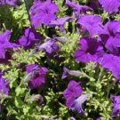 Petunia Storm Blue Potted Flower 50 Seeds
