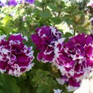 Petunia Purple Piroutte Potted Flower 50 Seeds