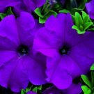 Petunia Ultra Violet Potted Flower 50 Seeds