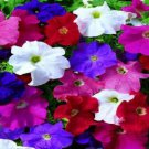 Petunia Ultra LTD Edition Mix Potted Flower 50 Seeds