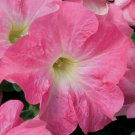 Petunia Candypops Strawberry Vanilla Potted Flower 50 Seeds