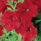 Petunia Supercascade Red Potted Flower 50 Seeds