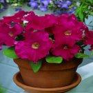 Petunia Fresh garden Candypops Rose Pelleted Flower 50 Seeds